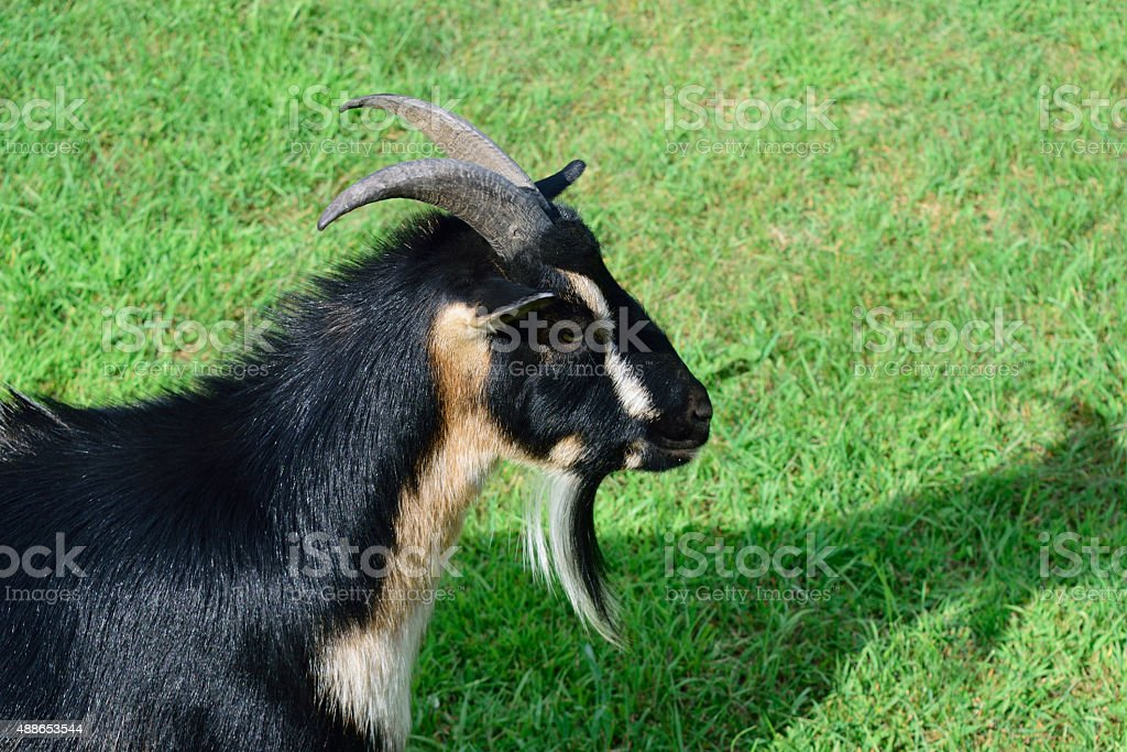 Side View of Horned Dwarf Goat stock photo
