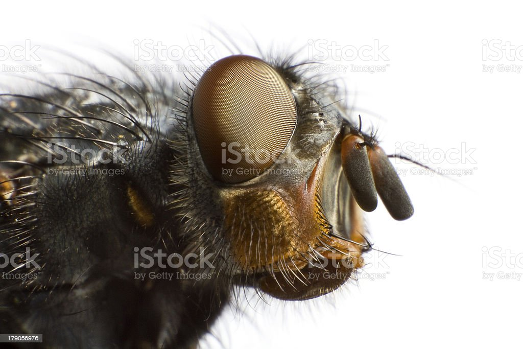 side view of house fly royalty-free stock photo
