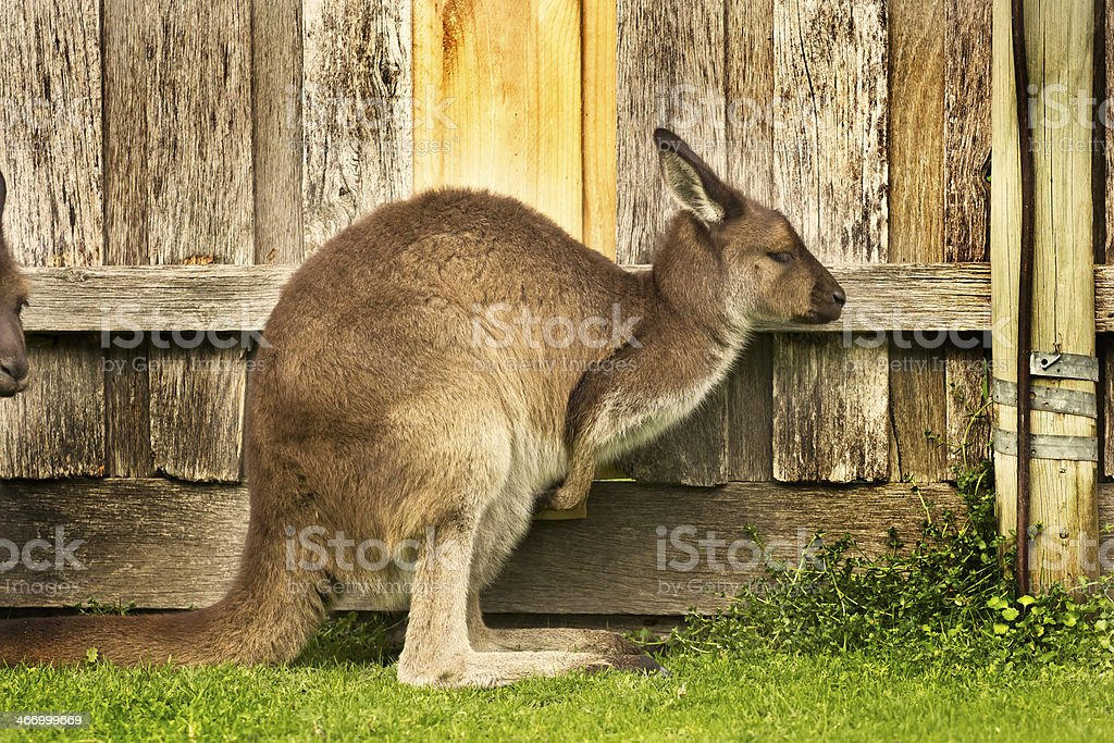 side view of kangaroo with a wooden background royalty-free stock photo