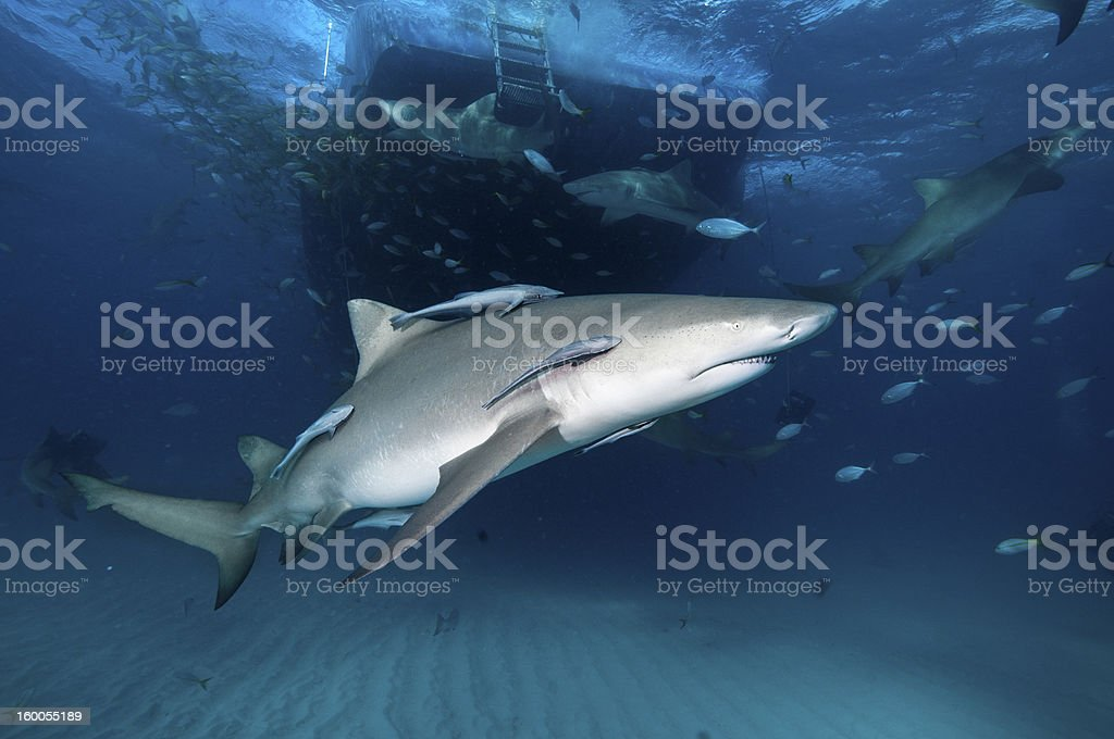 Side view of lemon shark stock photo