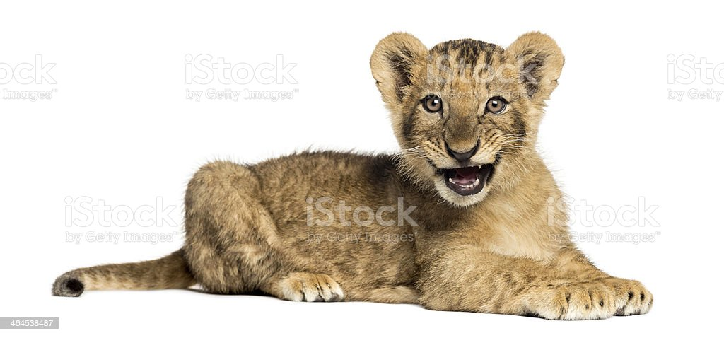 Side view of Lion cub lying, roaring, 10 weeks old stock photo