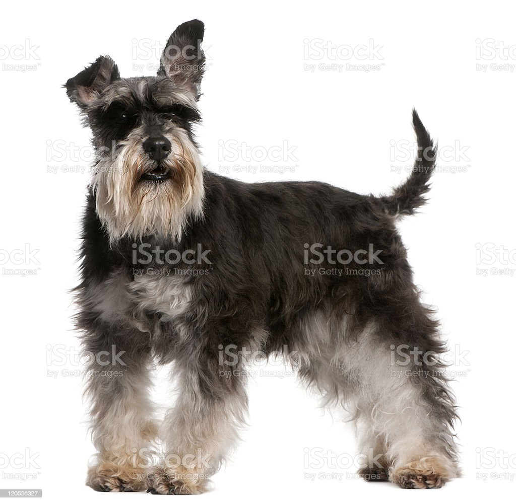 Side view of Miniature Schnauzer, standing, white background. stock photo