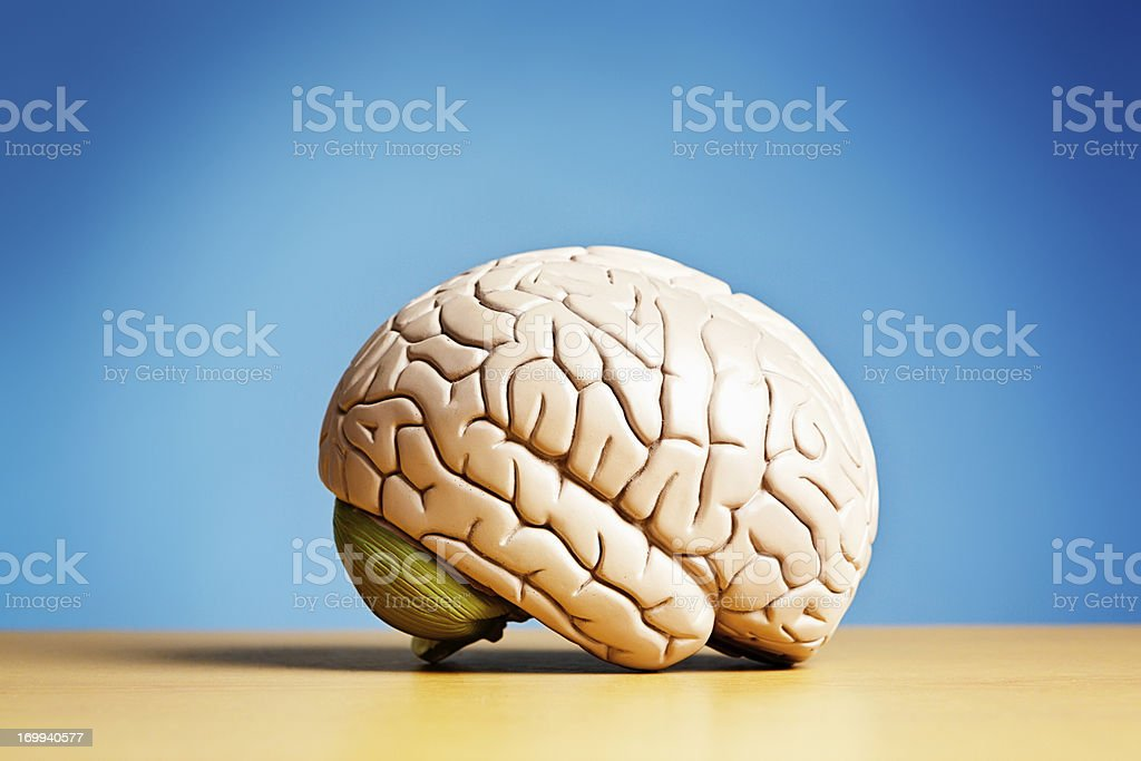 Side view of model brain on blue stock photo