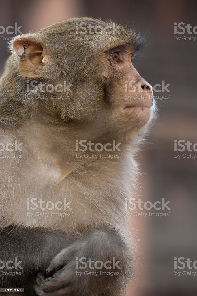 Side view of Monkey in Nepal royalty-free stock photo