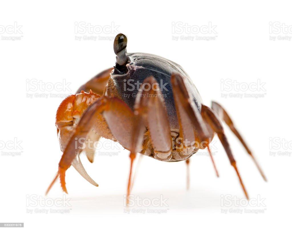 Side view of Patriot crab, Cardisoma armatum, stock photo