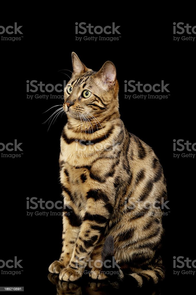Side view of proper Bengal cat. royalty-free stock photo