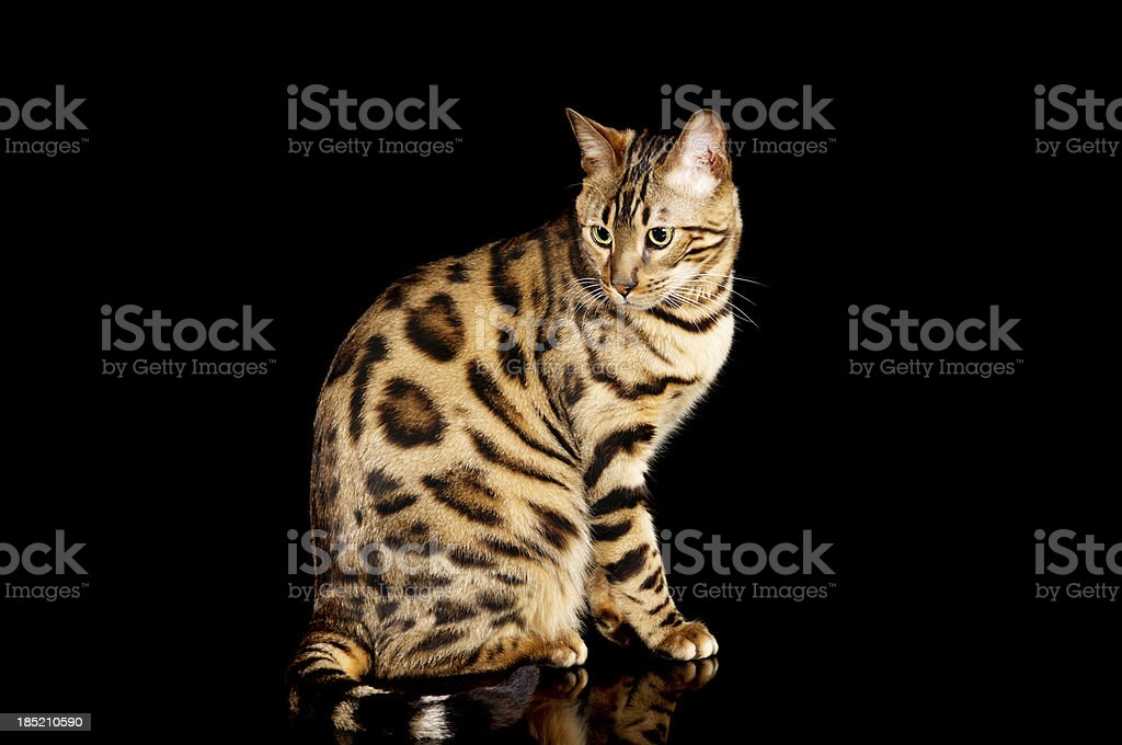 Side view of purebred Bengal cat. stock photo