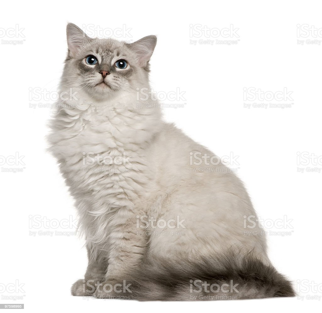 Side view of Ragdoll sitting and looking up stock photo