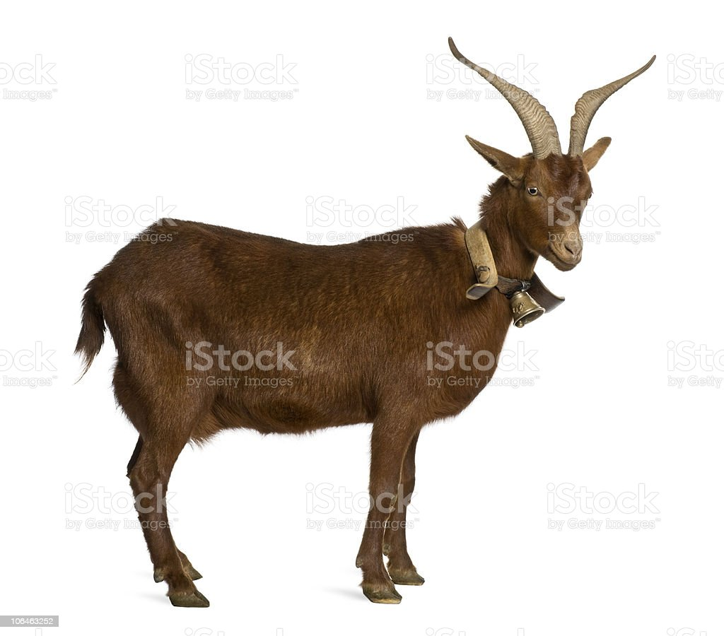 Side view of Rove goat, 4 years old, standing. stock photo