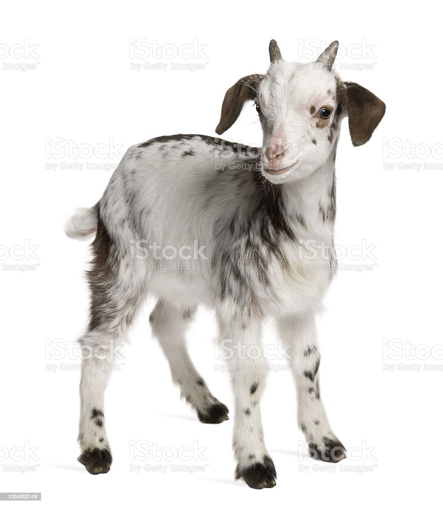 Side view of Rove goat Kid, 1 month old, standing. stock photo