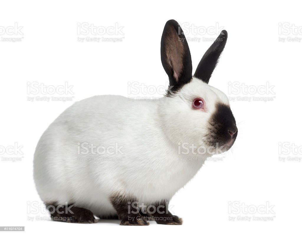 Side view of Russian rabbit isolated on white stock photo