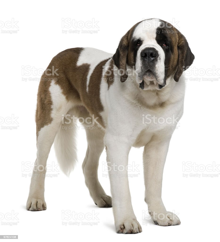 Side view of Saint Bernard standing and looking the camera royalty-free stock photo