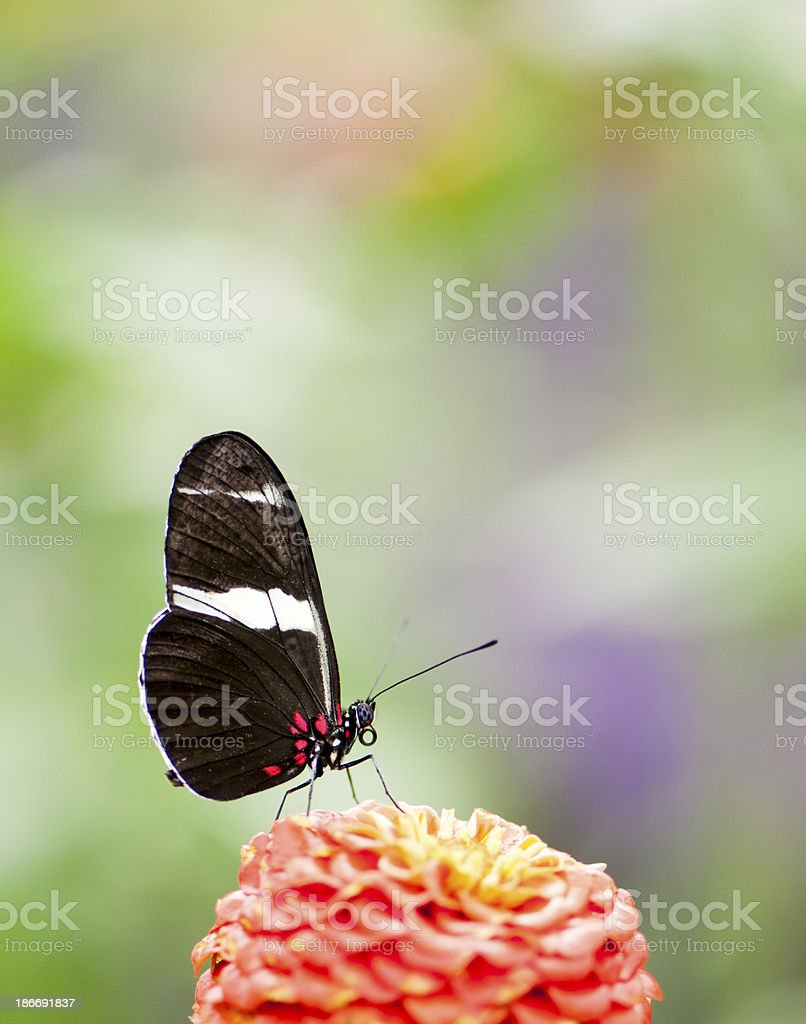 Side view of Sara Longwing Butterfly stock photo