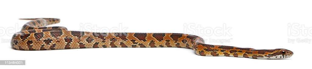 Side view of Scaleless Corn Snake, Pantherophis Guttatus, white background. stock photo