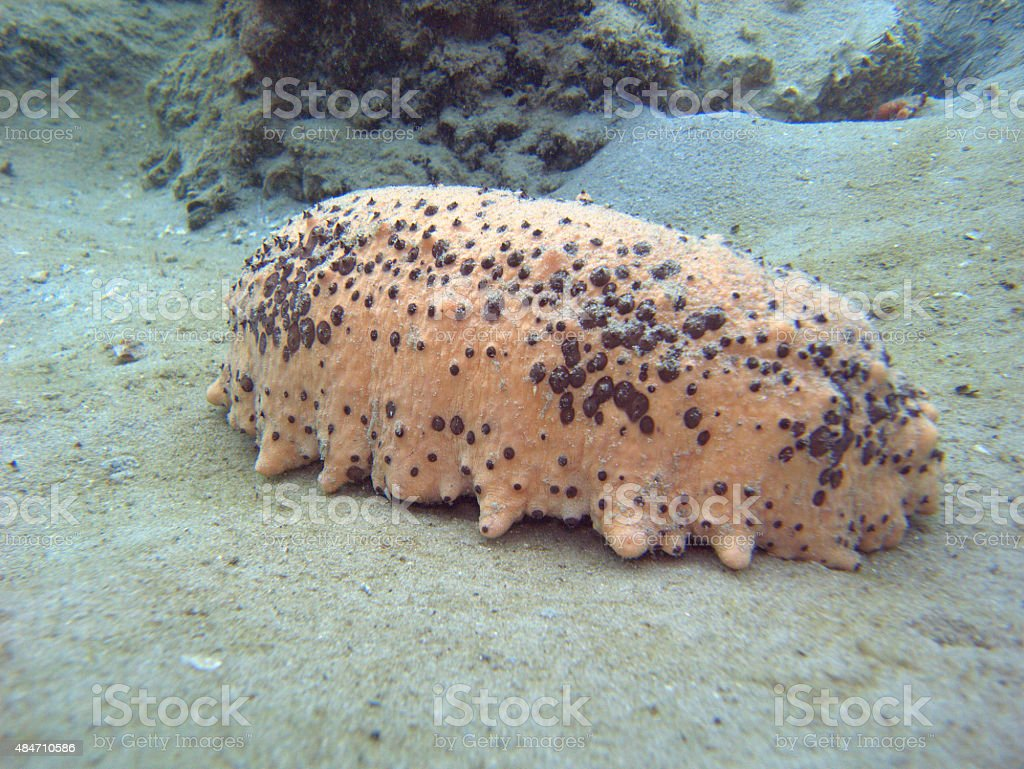 side view of sea cucumber stock photo