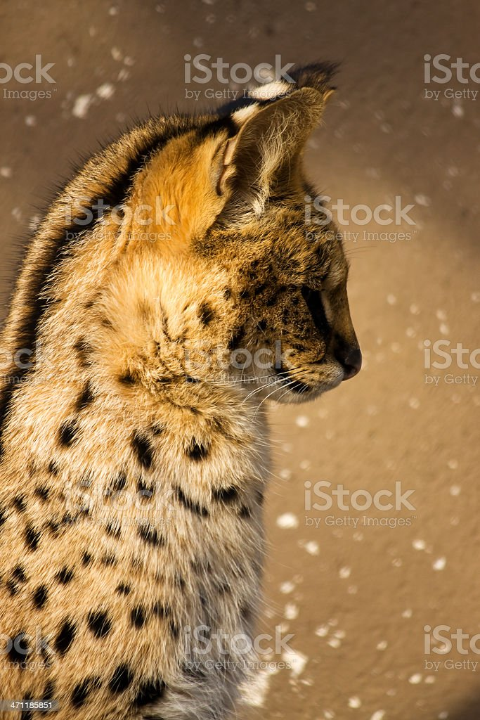 Side view of Serval stock photo