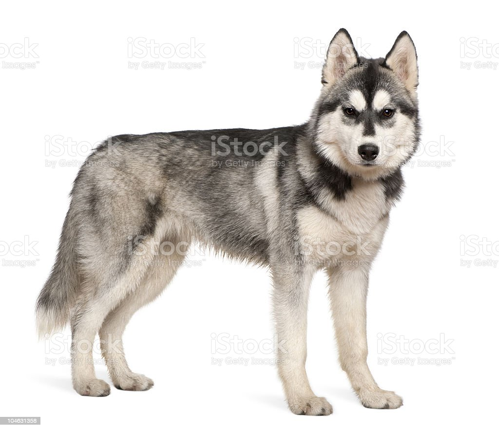Side view of Siberian husky, standing and looking at camera. stock photo