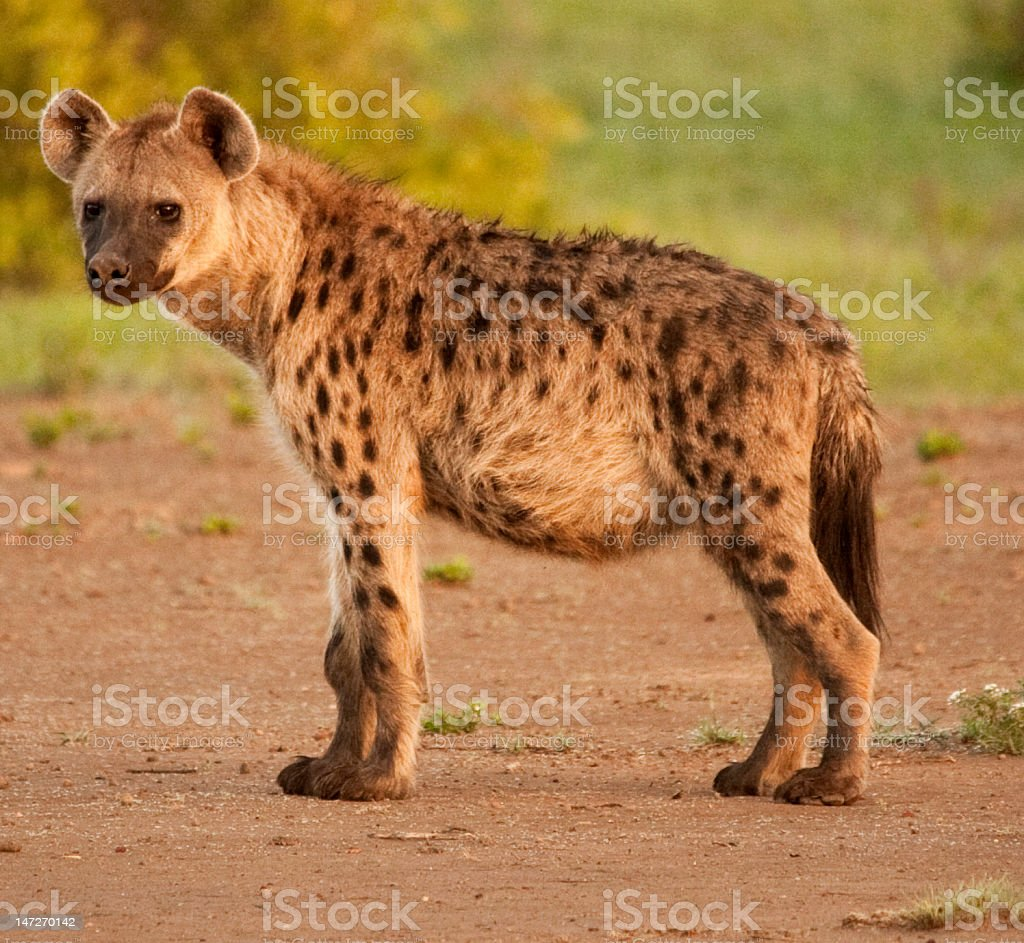 Side view of spotted Hyena in its natural surroundings backlit stock photo
