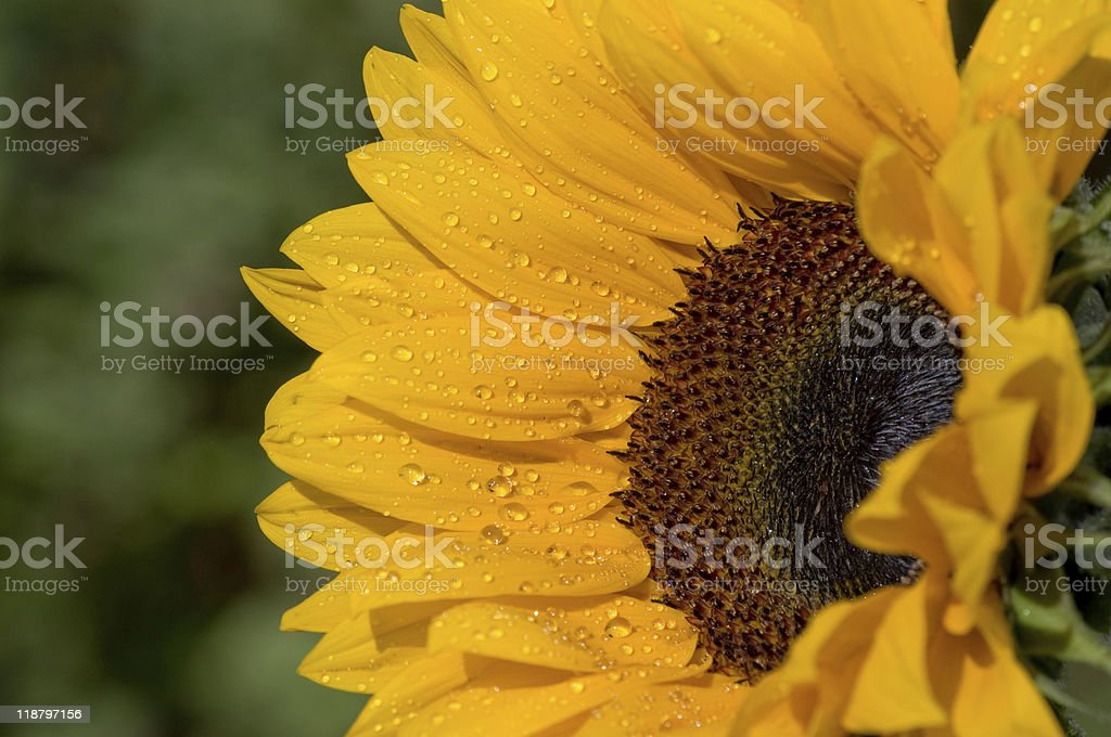 Side view of Sunflower with water droplets royalty-free stock photo