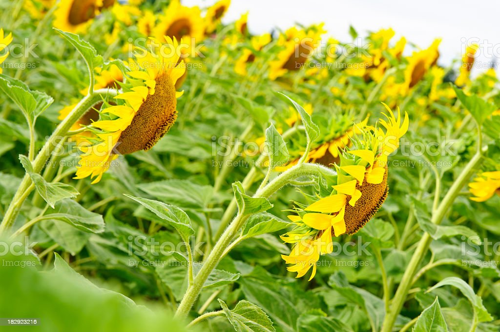 Side view of sunflowers royalty-free stock photo
