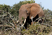 Side view of the Bush Elephant standing behind the branches