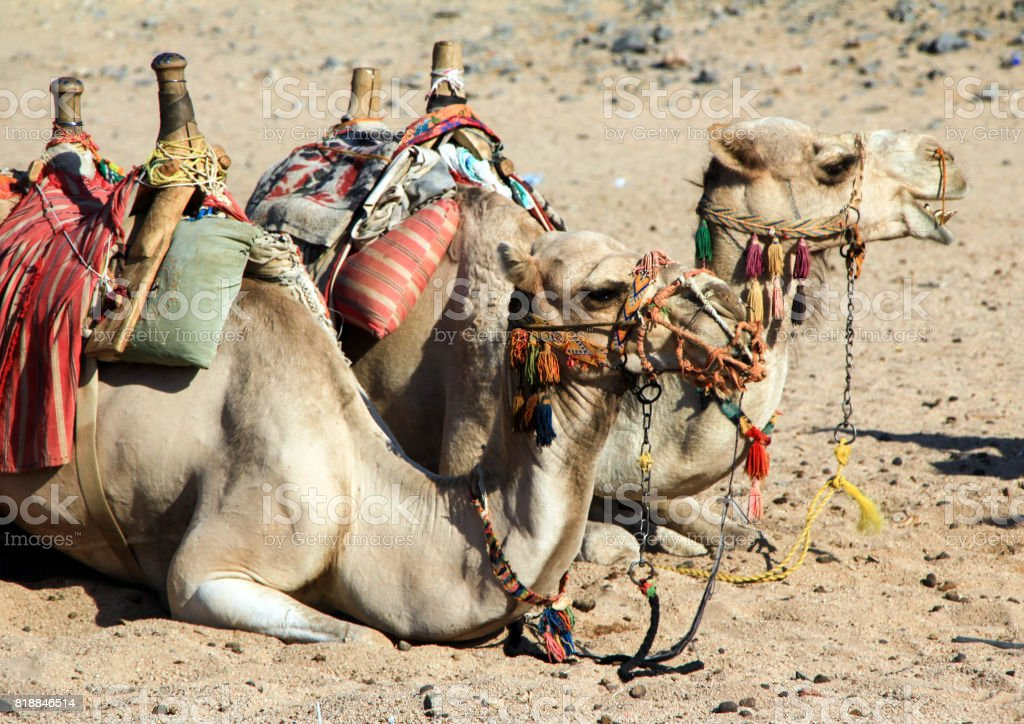 Side view of the camel pair lying on the sand. stock photo
