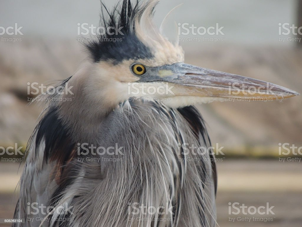 Side view of the head of a Great Blue Heron stock photo