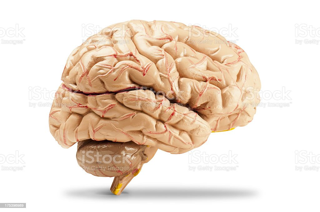 Side view of the human brain on a white background stock photo