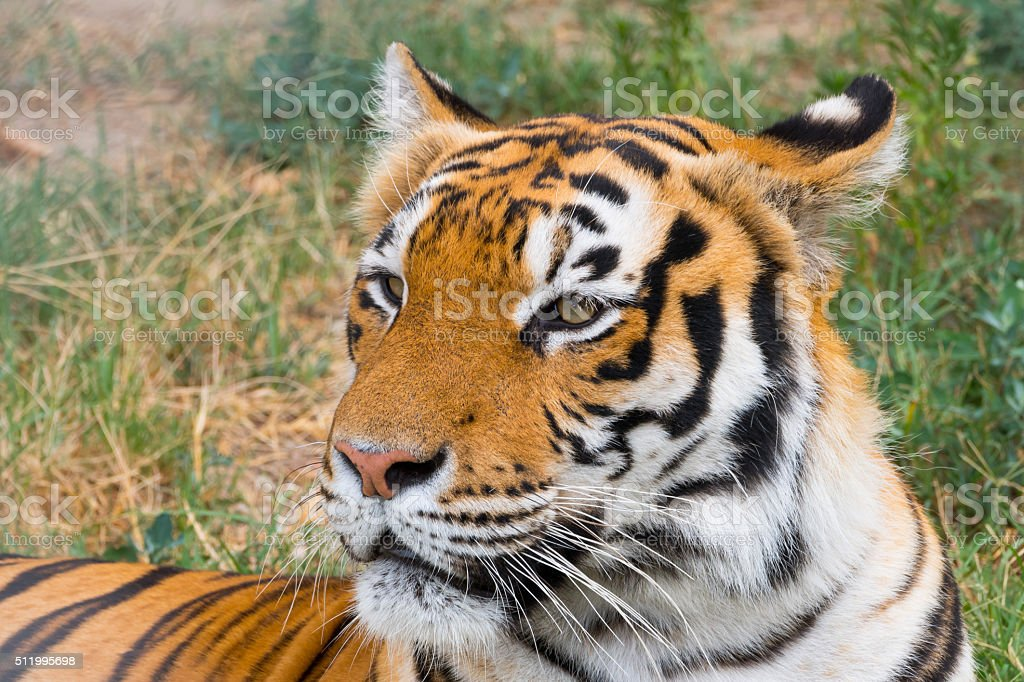 Side view of Tiger Close Up stock photo