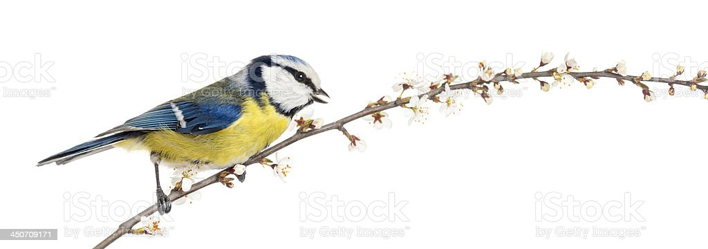 Side view of tweeting Blue Tit perching on blossoming branch royalty-free stock photo