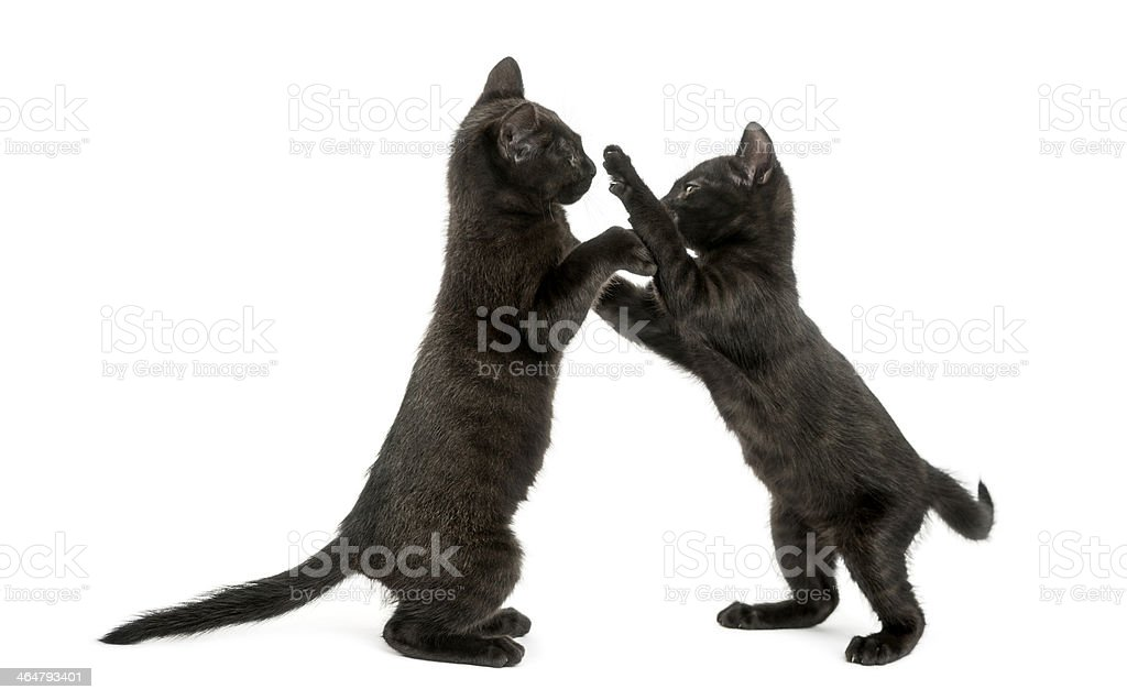 Side view of two Black kittens playing, 2 months old stock photo