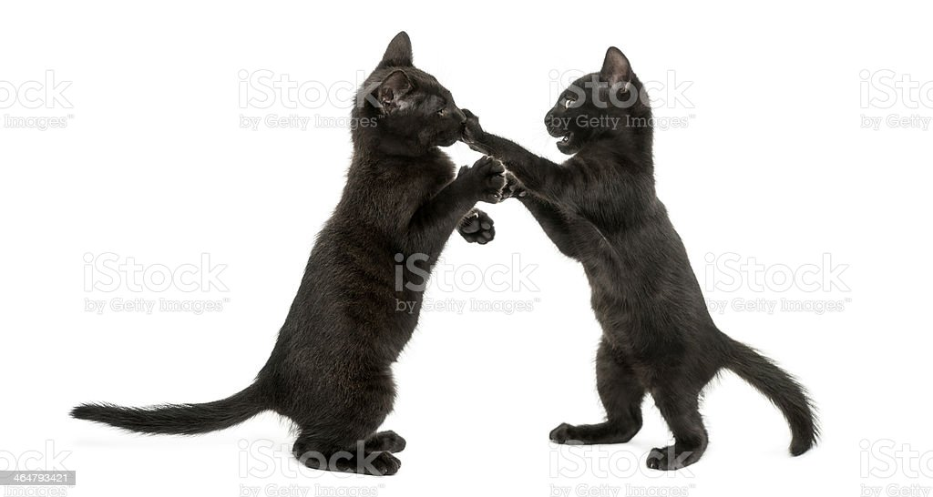Side view of two black kitties playing with each other stock photo
