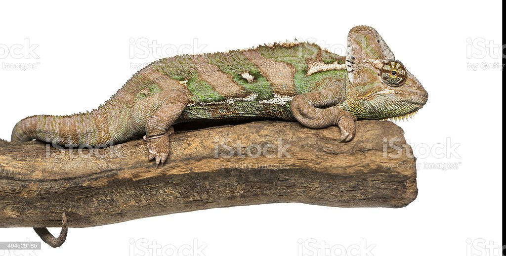Side view of Veiled chameleon lying on a branch stock photo