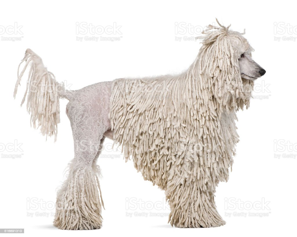 Side view of White Corded standard Poodle standing stock photo