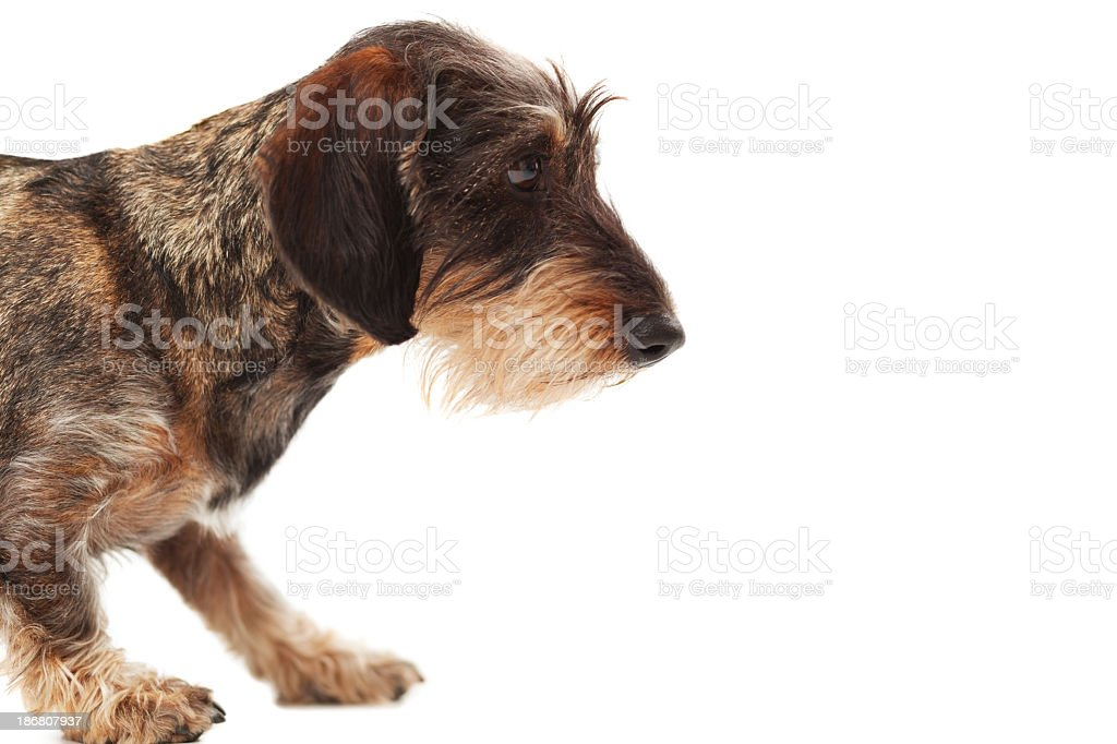Side view of wire-haired dachshund standing stock photo
