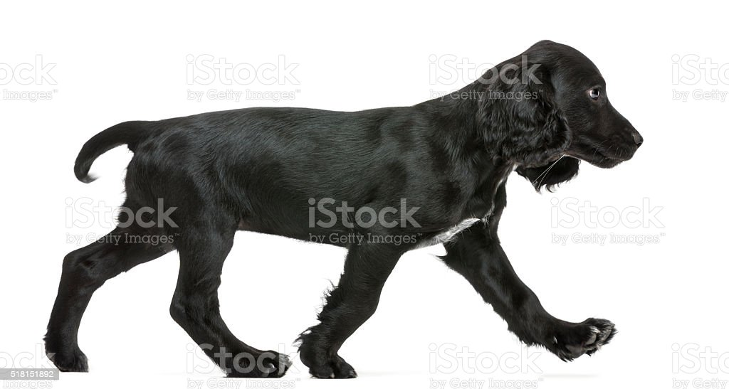Side view of Working Cocker Spaniel walking against white background stock photo