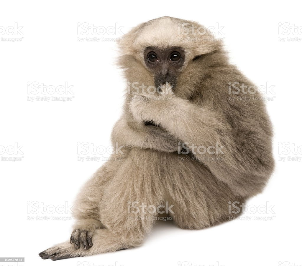 Side view of Young Pileated Gibbon, 4 months old, sitting. stock photo