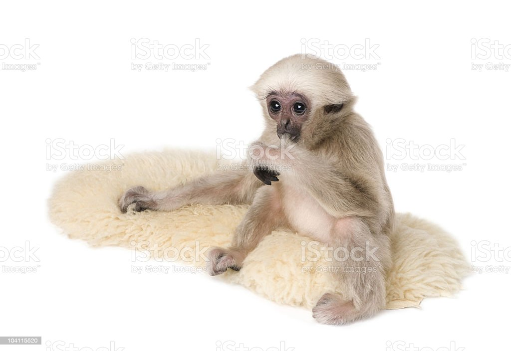Side view of Young Pileated Gibbon, sitting on rug stock photo