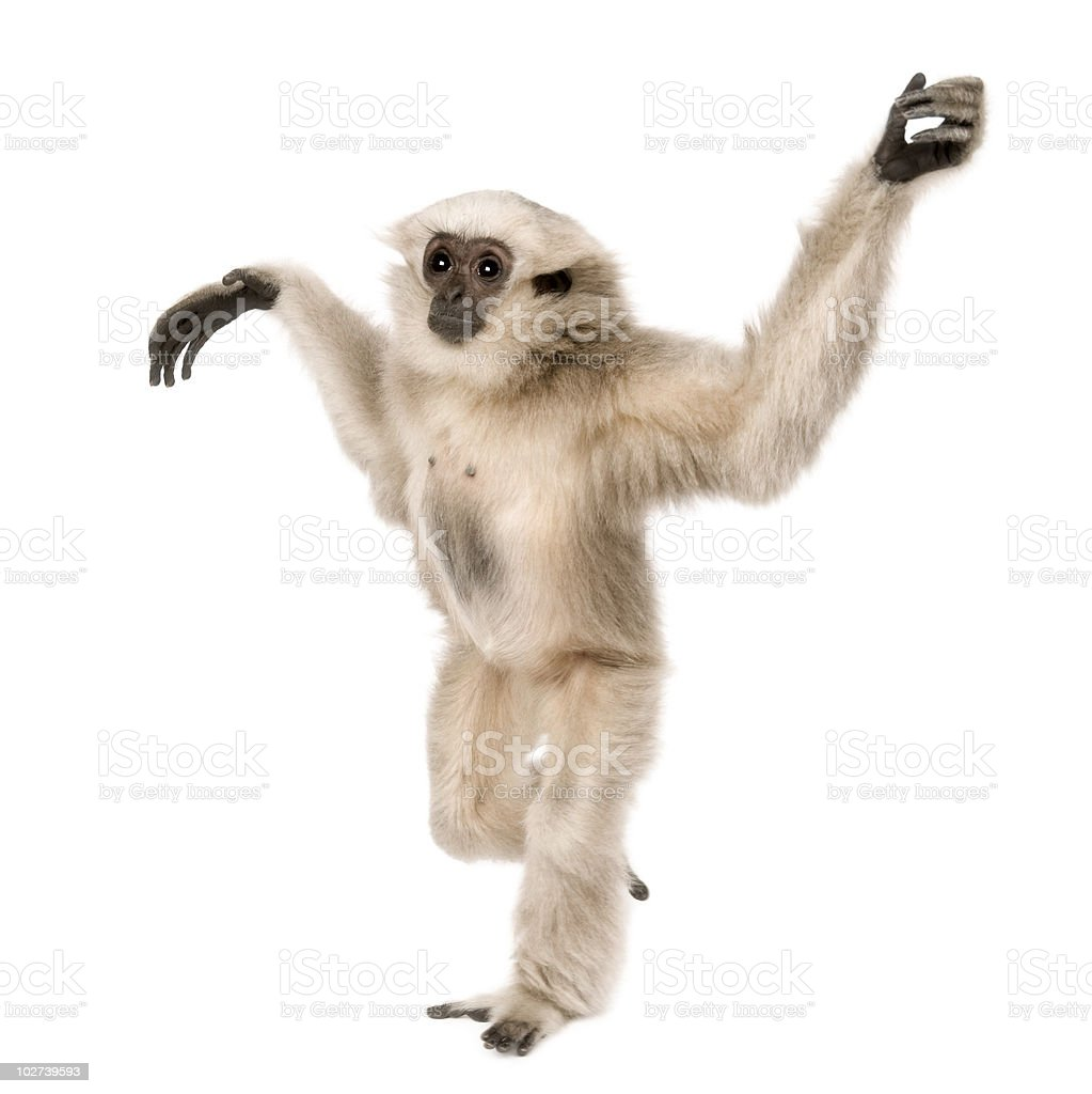 Side view of Young Pileated Gibbon, walking stock photo