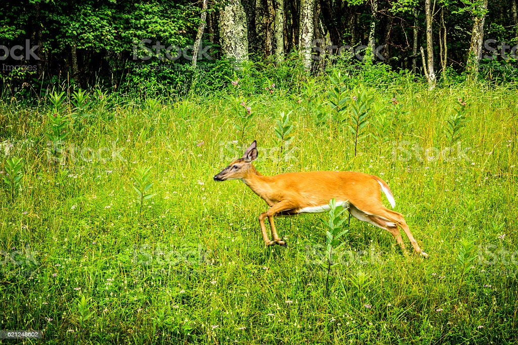 Side View of Young White-Tailed Deer Running stock photo