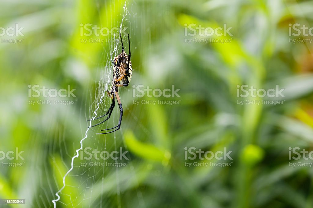 Side View off Black-and-Yellow Argiope Spider (Female) on (Argiope aurantia) stock photo