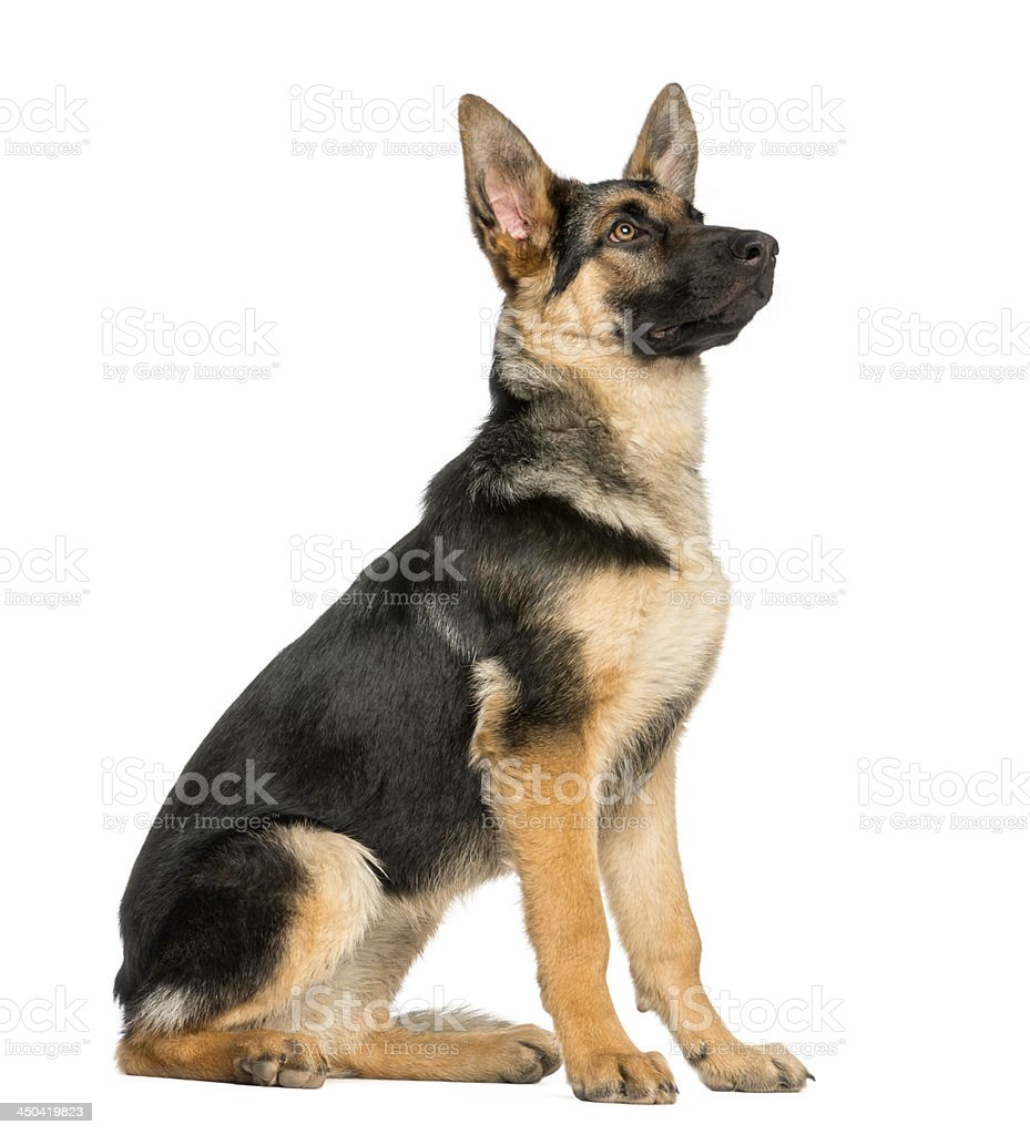 side view on a young German shepherd sitting, looking up stock photo