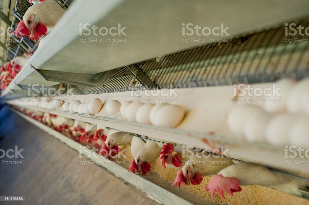 Side view photograph of chickens and their eggs in a row stock photo