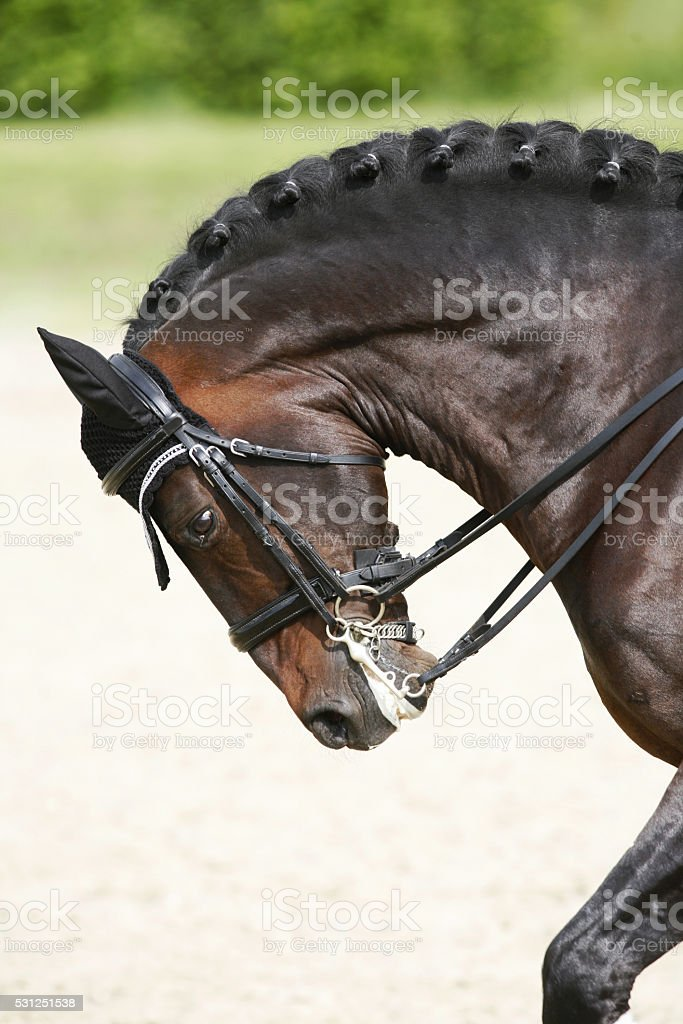 Side view portrait of a bay dressage horse during training stock photo