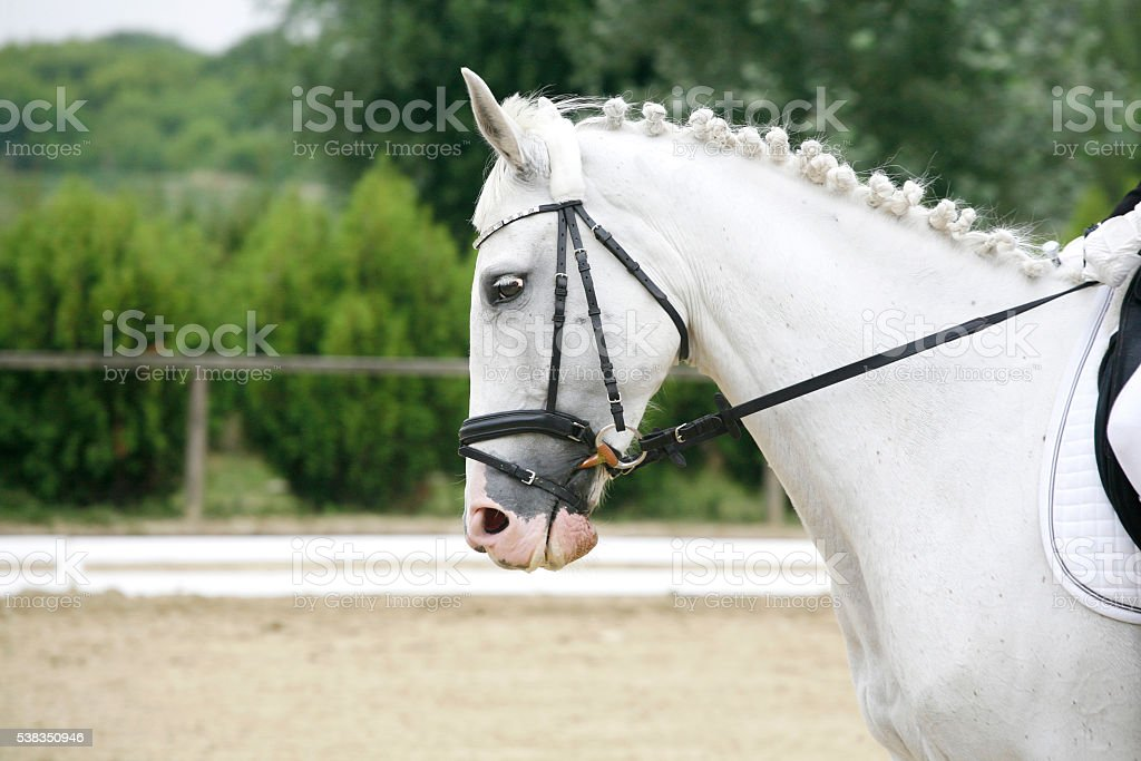 Side view portrait of a grey dressage horse during training stock photo