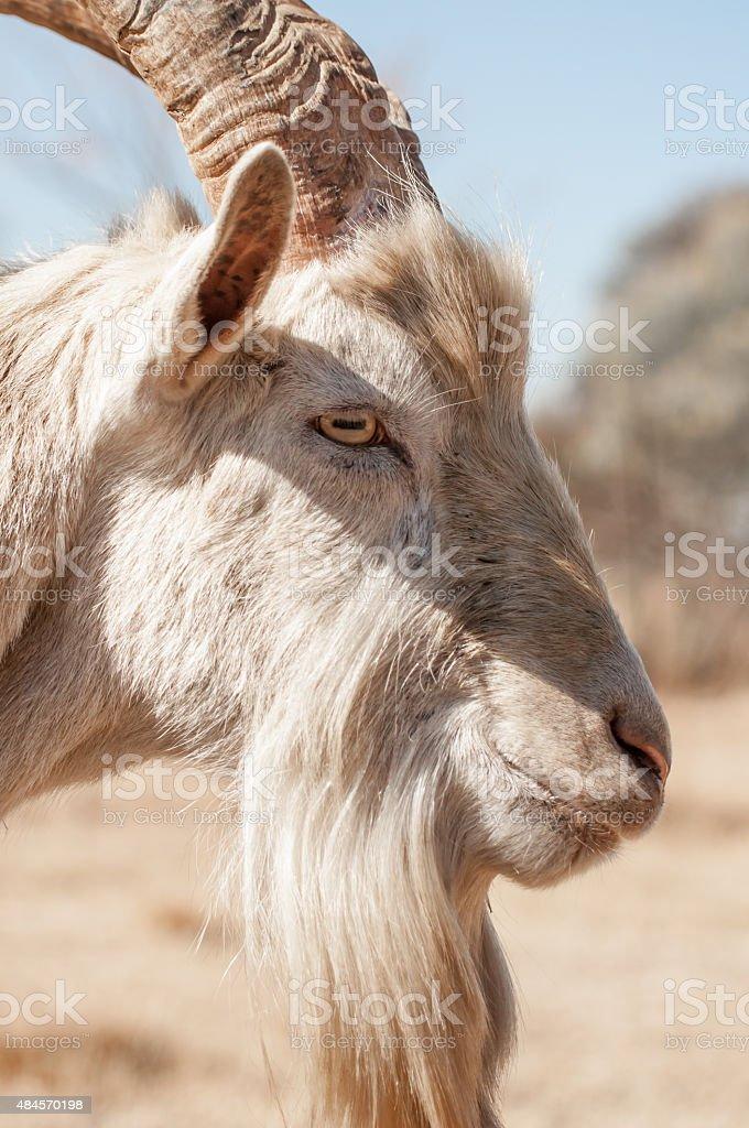 Side View Portrait of Saanen Goat stock photo