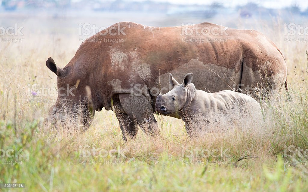 Side view Rhino and calf stock photo