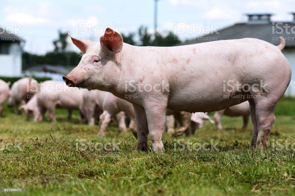 Side view shot of a young pink piglet on animal farm summertime stock photo
