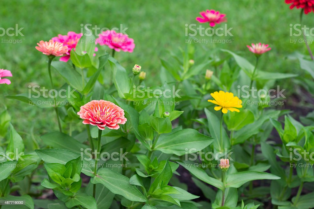 Side view  Zinnia violacea on blur background texture stock photo