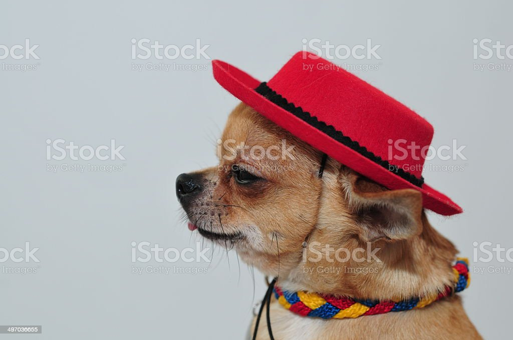 Side-face of the Mexican Chihuahua stock photo